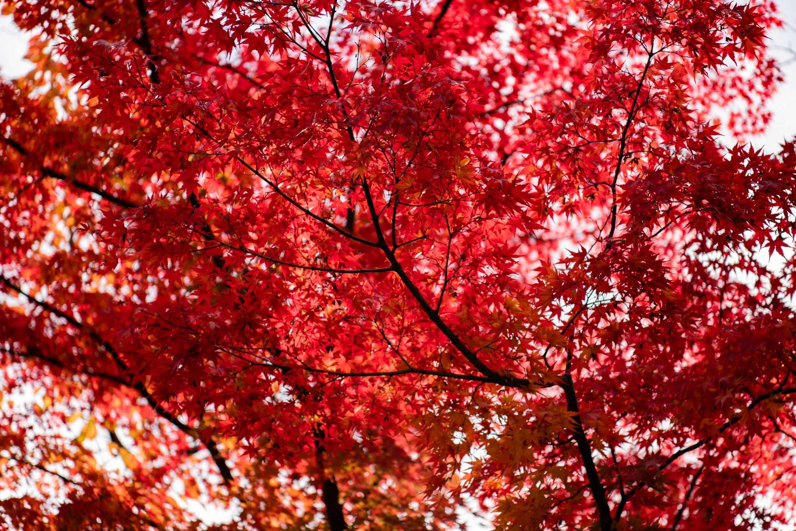 tree-with-red-leaves-3285472